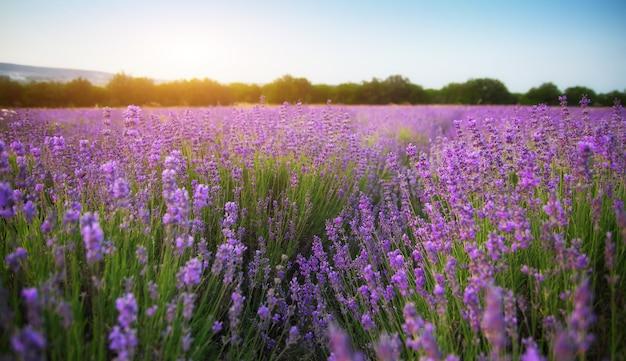 Lavendel schöne wiese.