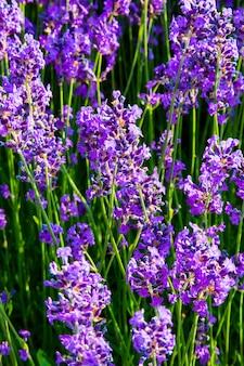 Lavendel, wertvolle zierpflanzen