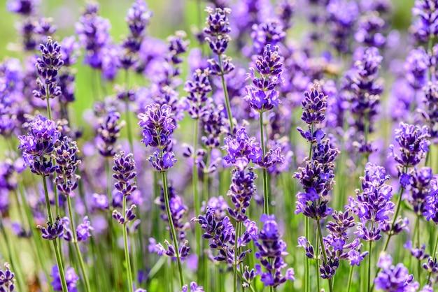 Lavendelanlage, die auf einem gebiet in der sommerzeit wächst