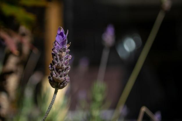 Lavendelblüte mit unscharfem hintergrund