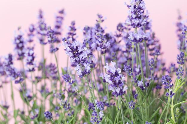 Lavendelblüten auf einem weiß.