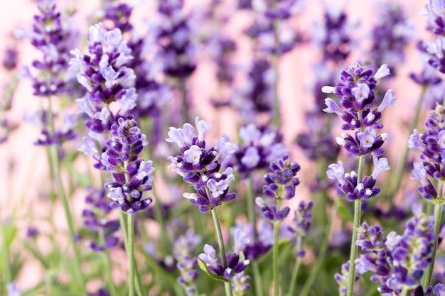 Lavendelblüten auf natur