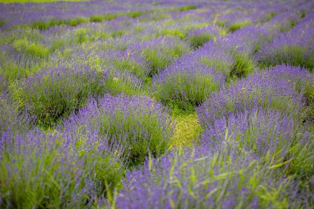 Lavendelblüten duftende felder in endlosen reihen tschechien europa