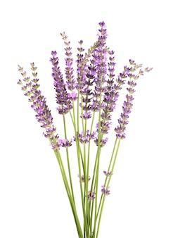 Lavendelblüten isoliert auf weißem hintergrund bündel von lavandula oder lavendelblüten heilkräuter