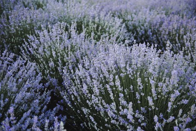 Lavendelblüten. lavendelfeld im sommer. ukraine