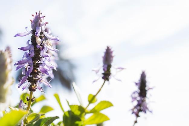 Lavendelblüten mit unscharfen hintergrund
