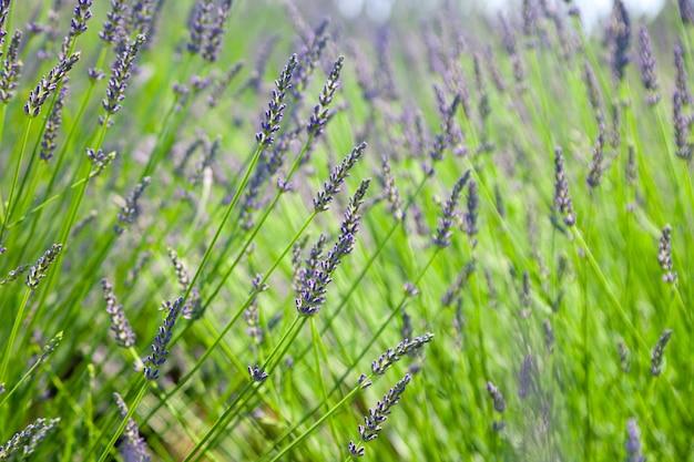 Lavendelblume im blumengarten