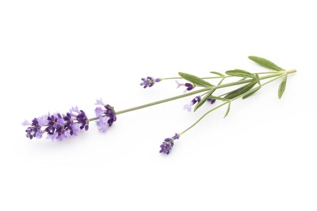 Lavendelblumen auf einem weißen hintergrund.