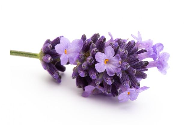 Lavendelblumen auf einem weißen hintergrund