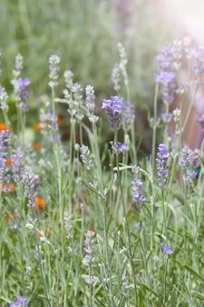 Lavendelblumen, die hintergrund vertikal blühen. lila feldblumen, sonnenuntergang. zarte lavendelblüten.