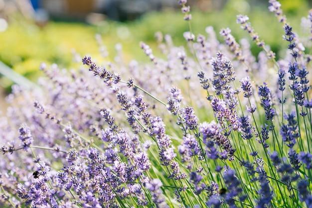 Lavendelblumen in einem feld bei sonnenuntergang