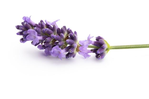 Lavendelblumenbündel gebunden lokalisiert auf weißem hintergrund.