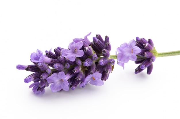 Lavendelblumenbündel gebunden lokalisiert auf weißem hintergrund