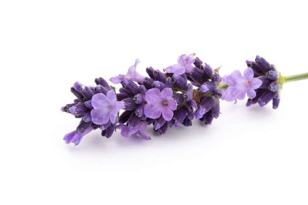 Lavendelblumenstrauß gebunden lokalisiert auf weißem raum.