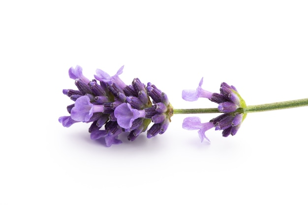 Lavendelblumenstrauß gebunden lokalisiert auf weißer oberfläche