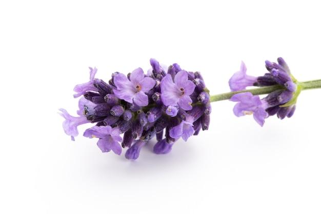Lavendelblumenstrauß gebunden lokalisiert auf weißer oberfläche. Premium Fotos