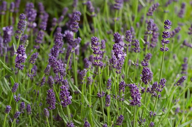 Lavendelbüsche hautnah lavendelbüsche hautnah