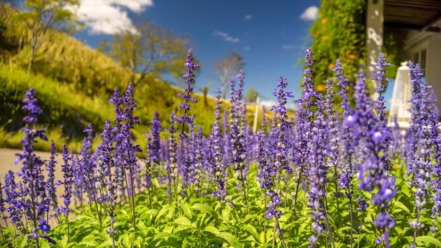 Lavendelbuschnahaufnahme auf sonnenlicht schimmert über purpurroten blumen des lavendels.