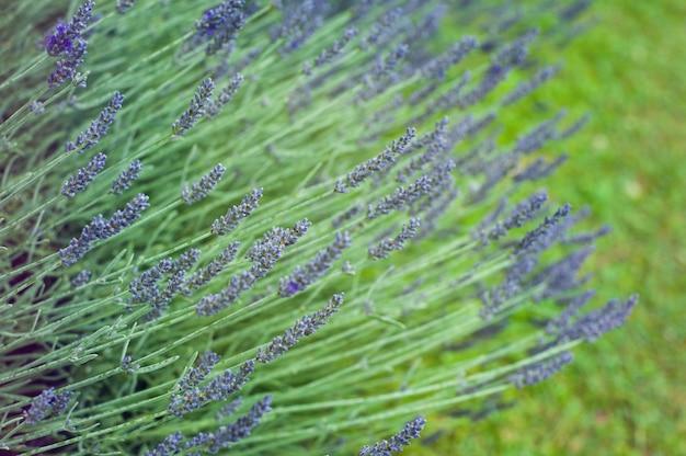 Lavendelbuschnahaufnahme im sonnenaufgang