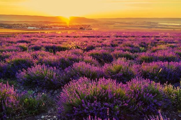 Lavendelfeld bei sonnenuntergang. tolle sommerlandschaft.