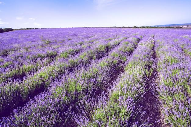 Lavendelfeld im sommer