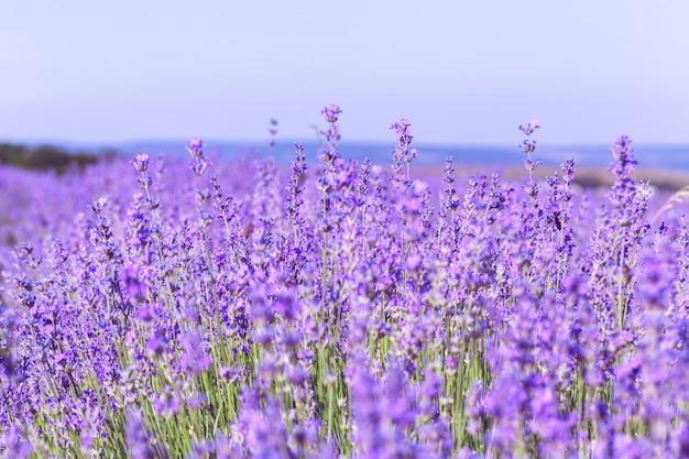 Lavendelfeld im sommerhintergrund