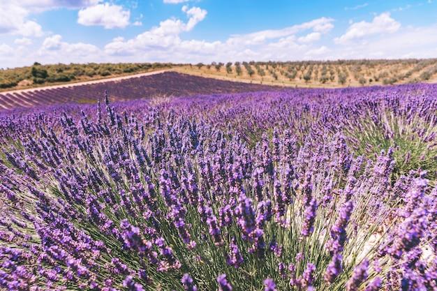 Lavendelfeld im sonnenlicht, provence, frankreich