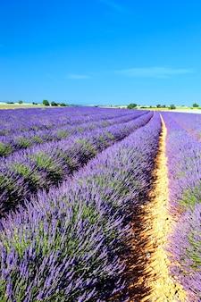 Lavendelfeld in der region provence, frankreich