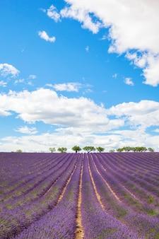 Lavendelfeld mit bäumen in der provence, frankreich