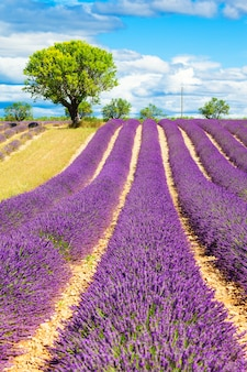 Lavendelfeld mit baum in der provence, frankreich