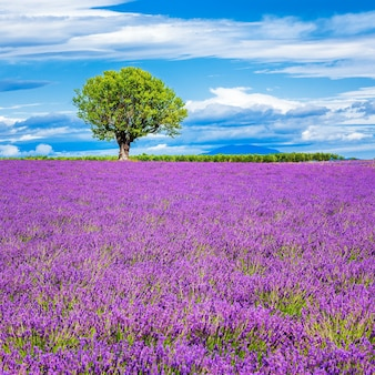 Lavendelfeld mit baum in frankreich