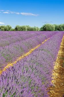 Lavendelfeld mit blauem himmel, frankreich, europa