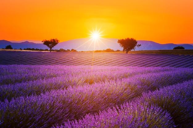Lavendelfeld-sommersonnenuntergangslandschaft mit zwei bäumen nahe valensole.provence, frankreich