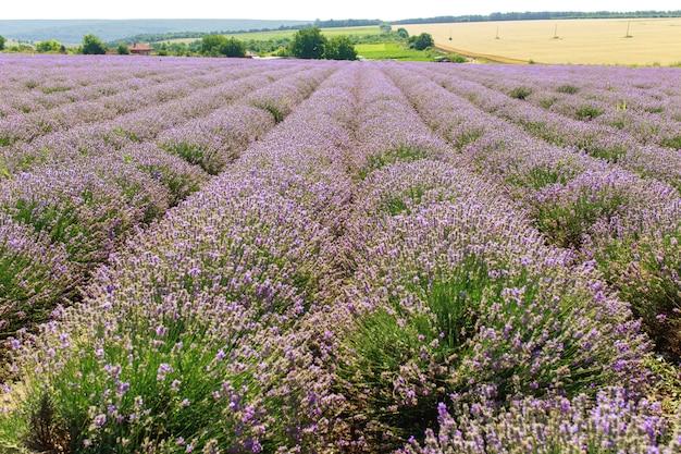 Lavendelfeld sonnenuntergang und linien