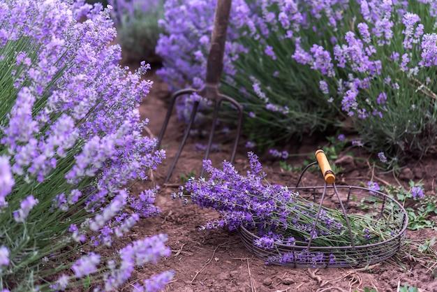 Lavendelfeld und ein bündel lavendel geerntet.