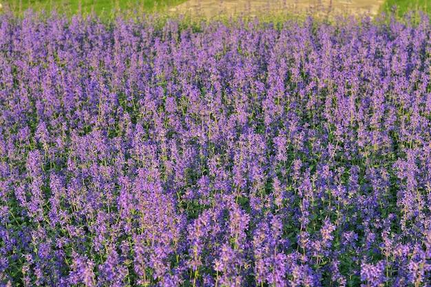 Lavendelfeld und grashintergrund