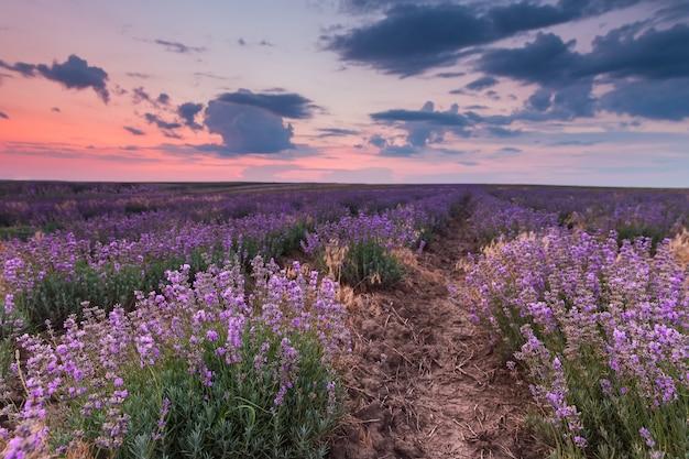 Lavendelfeld unter blauem himmel mit wolken auf sonnenuntergang