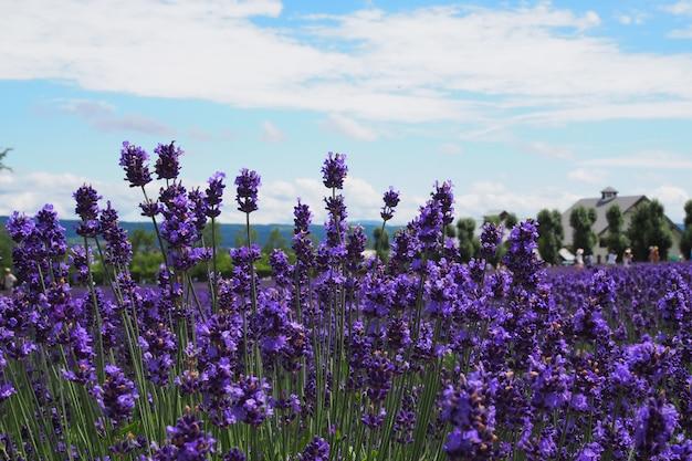 Lavendelfelder auf dem hellen himmel.
