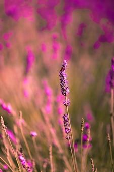 Lavendelfelder in brihuega, guadalajara, spanien.