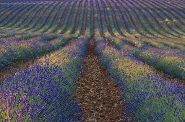 Lavendelfelder mit verschiedenen schattierungen gesät. landwirtschaftskonzept