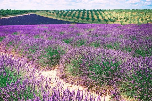 Lavendelfelder, provence, hochebene valensole, frankreich