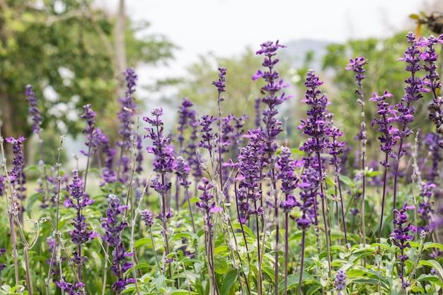 Lavendelgarten in thailnd