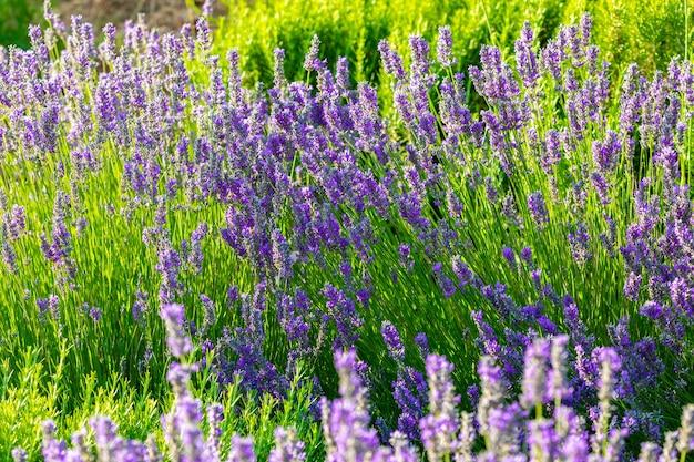 Lavendelpflanze, die mit bunten offenen blumen an einem sonnigen frühlingstag platzt