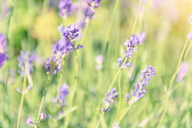 Lavendelviolette blumen auf dem feld bei sonnenuntergang