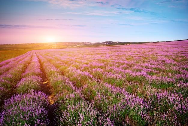 Lavendelwiese.