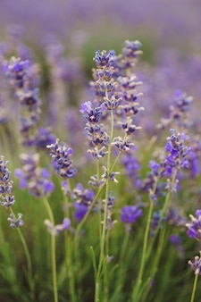 Lavendelzweige