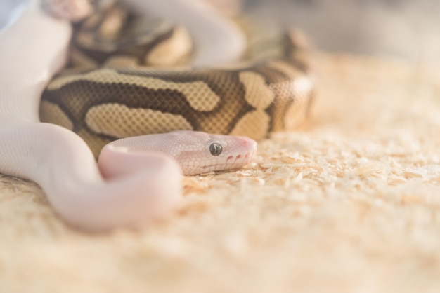 Lavender albino ballpython (python regius)