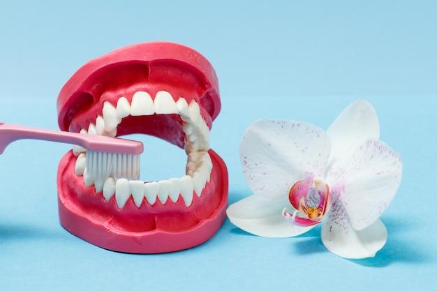 Layout des menschlichen kiefers und einer zahnbürste auf blauem hintergrund mit der knospe einer orchideenblüte.