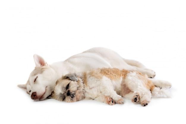 Lazy siberian husky und shih tzu schlafen zusammen auf dem boden