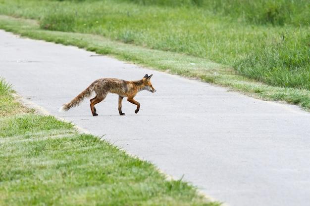Lean red fox mutter im frühjahr überquert die radstraße